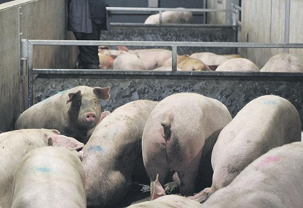 Selon les Éleveurs de porcs du Québec, des avis de non-conformité ont été envoyés par des acheteurs dès l'entrée en vigueur de la convention, avant même l'établissement de protocoles. Photo : Archives TCN