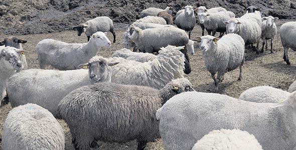 Le troupeau de Mikael est passé à 800têtes l'an dernier avec l'achat de 350bêtes dans un encan à Amos.