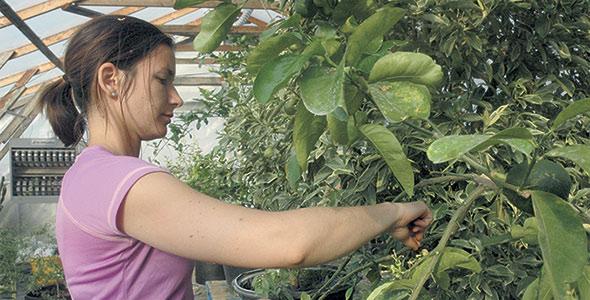 Depuis quelques années, Vicky Vaillancourt multiplie ses citronniers, si bien que son entreprise O'Citrus a pu prendre son envol officiellement en 2018, ce qui lui permettra d'assurer la relève familiale tout en poursuivant la culture des légumes.