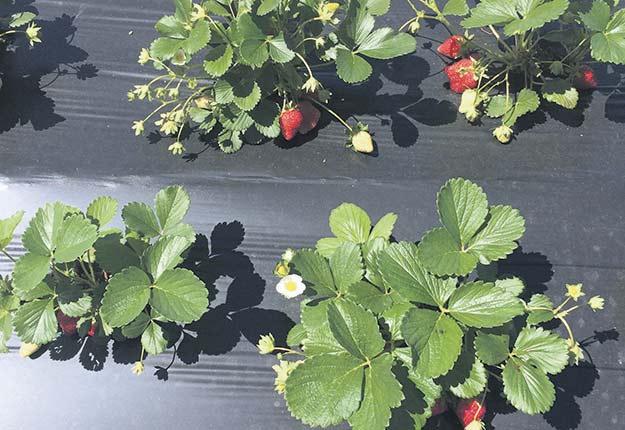 Plants de fraises en culture au Carrefour industriel et expérimental de Lanaudière (CIEL). Photos : Jennifer Crawford
