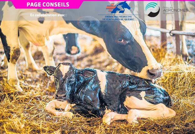 Lorsqu'une vache est toujours non gestante après plusieurs saillies, le test d'estérase peut s'avérer utile pour détecter l'endométrite subclinique. Photo : Shutterstock.com
