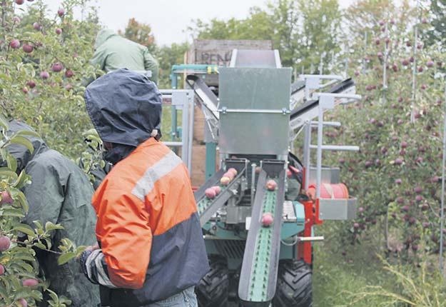 La récolte mécanisée chez Monique Audette, à Dunham. Photos : Les Producteurs de pommes du Québec