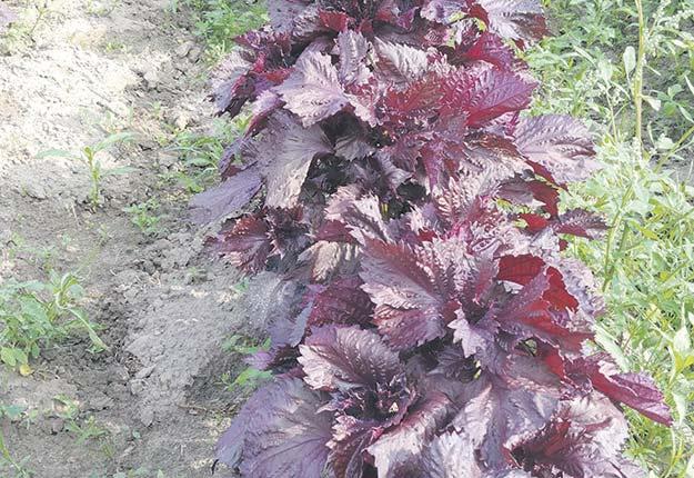 Le shiso rouge, aussi appelé perilla, est une herbe aromatique mexicaine utilisée dans les sushis. Photo : Gracieuseté