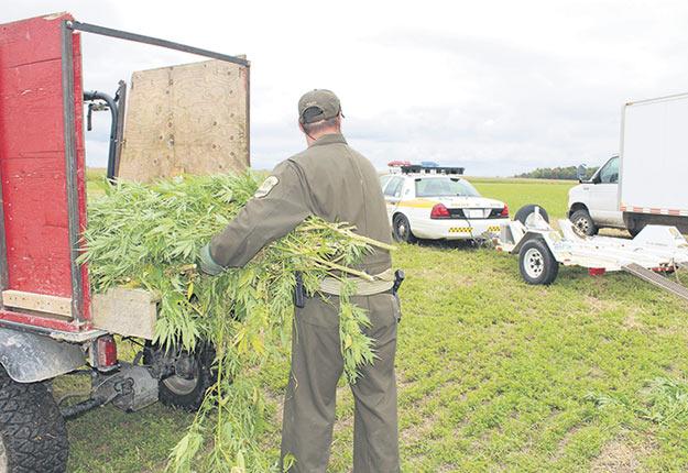La Sûreté du Québec fera désormais signer un formulaire de consentement aux producteurs chez qui elle s'apprête à faire une saisie de cannabis découvert dans leurs champs. Photo : Archives TCN