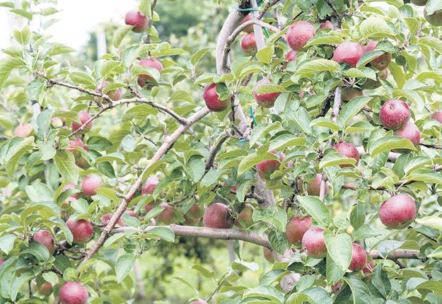 Le printemps froid a ralenti le développement des pommes, qui devraient avoir un calibre plus petit cette année. Photo : Archive TCN
