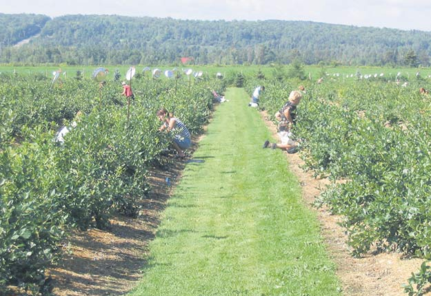Les producteurs de bleuets en corymbe du Québec misent entre autres sur l'autocueillette pour écouler leurs petits fruits. Photos : Christian Lacroix