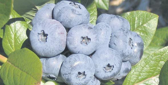 Plus gros que le bleuet sauvage, le bleuet en corymbe est aussi cultivé aux États-Unis, au Chili et en Nouvelle-Zélande, notamment.