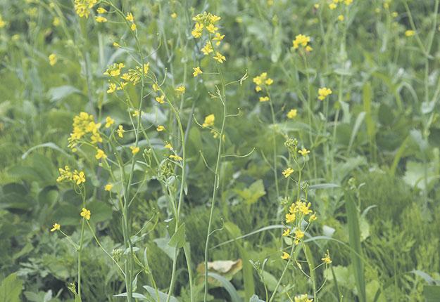 Les chercheurs ont dépisté trois fois plus de cas de moutarde des oiseaux résistante au glyphosate sur le territoire québécois au cours de la dernière année. Photos : Gracieuseté du CÉROM