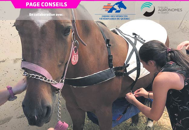 Le collecteur de matières fécales est composé de deux pièces. La première longe le dos du cheval et sert à soutenir la seconde, qui est suspendue sous ce dernier, permettant de récolter le fumier. Sur cette photo, le collecteur est installé sur le cheval donneur. Photo : Faculté de médecine vétérinaire de l'Université de Montréal