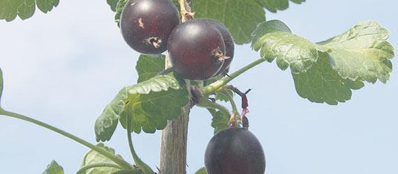 La caseille est un fruit noir issu du croisement du cassis et de la groseille. Photo : Grégoire Vincke