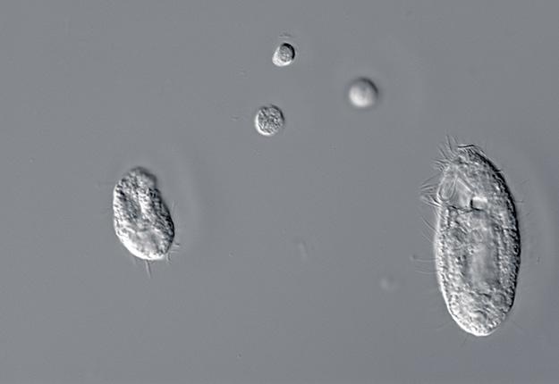 Des microbes comme les ciliés permettent à la bactérie Campylobacter jejuni de survivre dans l'eau. Photo : Laboratoire de Sébastien Faucher