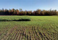 Martine Amyot souligne l'importance de semer ses engrais verts au bon moment. Ces deux cultures ont été semées à deux semaines d'écart en août. Gracieuseté de Martine Amyot