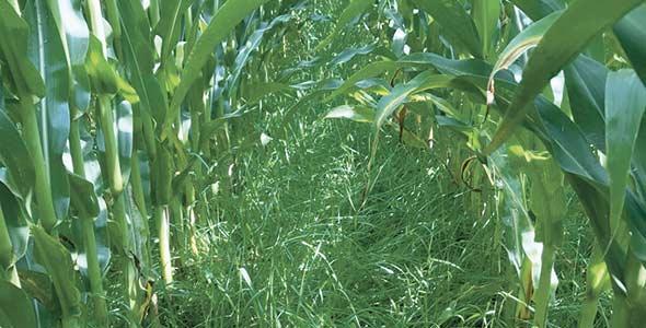 Le ray-grass est compatible avec le maïs, puisqu'il n'aime pas les températures chaudes. Photo : Gracieuseté de Sylvie Thibaudeau