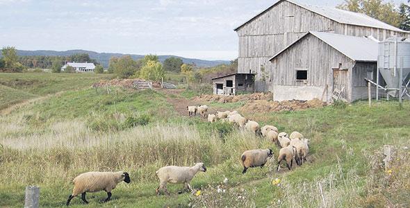 On élève également des poules, des cochons et des agneaux à la Ferme MacAllen.