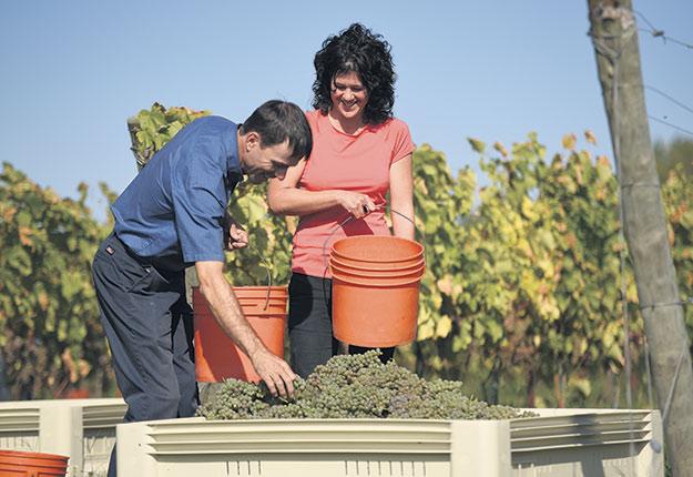 Des agriculteurs comme Fabien Gagné se spécialisent dans la production de raisins, atteignant même des rendements de 10t/ha. Si les performances de la viticulture québécoise se sont grandement améliorées, c'est grâce aux initiatives des producteurs et à l'apport de spécialistes comme l'agronome Évelyne Barriault. Photo : Martin Ménard/Archives TCN