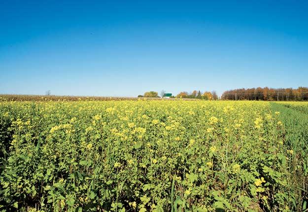 Meilleure structure du sol, plus d'activité biologique, lutte contre les mauvaises herbes… Intégrer les engrais verts dans les rotations des cultures compte son lot de bénéfices.