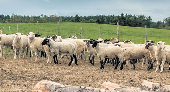 La Bergerie du Faubourg utilise un système automatisé pour l'alimentation des moutons.