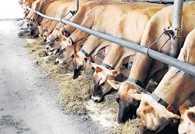 Le troupeau Phylum compte 130têtes de race Jersey, dont 60vaches en lactation. Photos: Gracieuseté de la Ferme Phylum