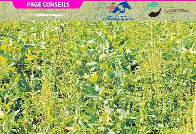 L'amarante tuberculée est une mauvaise herbe dont la résistance a été détectée pour lespesticides des groupes2, 5 et 9. Photo : MAPAQ