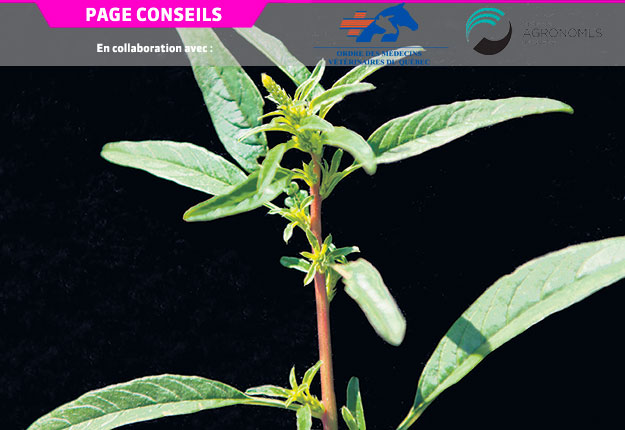 L'amarante tuberculée, une mauvaise herbe résistante aux pesticides, peut mesurer de 20 à 200cm de hauteur. Sa tige dépourvue de poils est de couleur verte ou rougeâtre. Photo : IRIIS phytoprotection