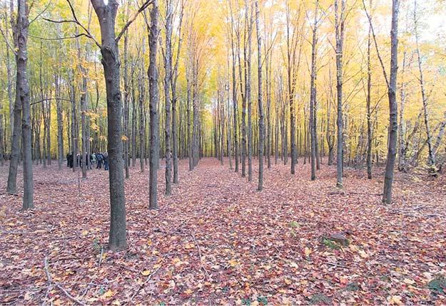 En pleine lumière, il convient de planter «serré» pour avoir le choix des arbres à enlever. Photos : David Lapointe