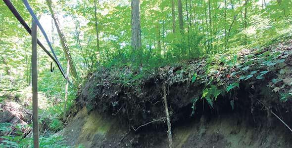 En forêt, la profondeur d'enracinement de l'érable sera réduite au minimum. Photos : David Lapointe