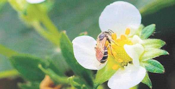 Une abeille récolte du pollen sur une fleur de fraisier.