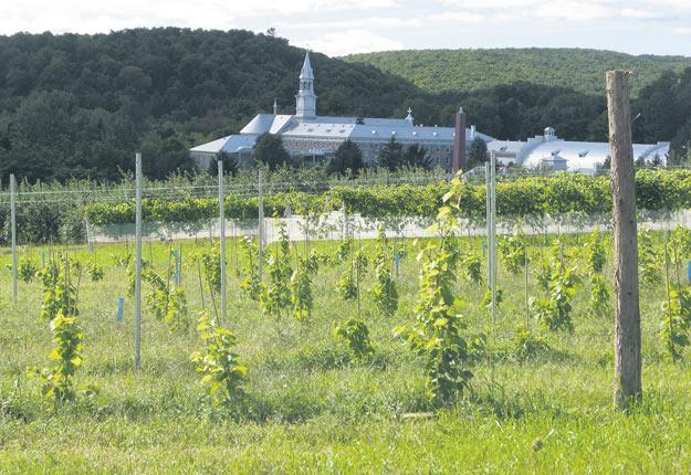 Une soixantaine de variétés de vignes sont scrutées dans le détail au vignoble expérimental du CRAM à Oka. Photos : Gracieuseté du CRAM