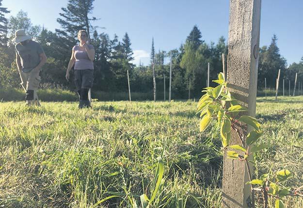 L'une des deux variétés de kiwis nordiques plantés en juillet offrira une première récolte dans trois ans, et l'autre, dans six ans. Photo : Olivier Roy Martin