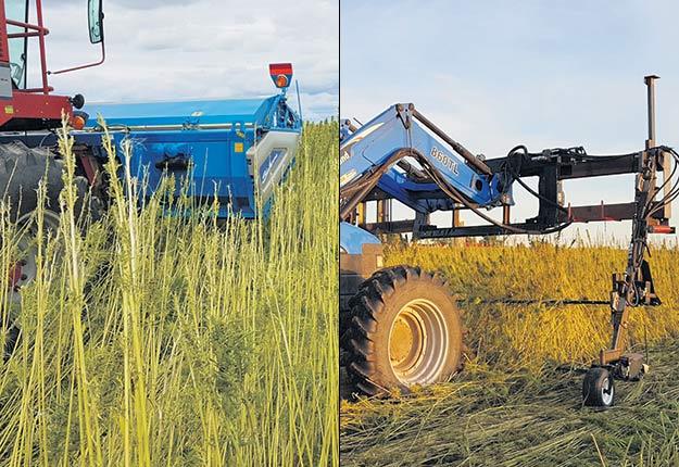 La compagnie Agrofibres récolte le chanvre industriel en deux étapes. D'abord, une moissonneuse-batteuse munie d'une effeuilleuse récupère la partie aérienne de la plante pour en extraire les fleurs et le précieux CBD. Ensuite, un tracteur muni d'une faucheuse coupe les tiges de chanvre afin de récolter la fibre. La tige est coupée en deux hauteurs différentes afin d'éviter des problèmes lors de l'étape subséquente avec le râteau-faneur. Photos : Olivier Lalonde