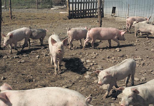 Le virus de la PPA se transmet par contact entre des porcs, par des objets contaminés (vêtements, équipements de ferme, etc.) ou par des déchets alimentaires contenant de la viande de porc contaminée par le virus de la PPA lorsqu'ils sont donnés aux porcs comme nourriture.