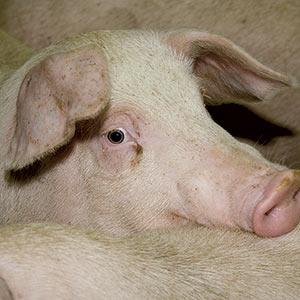 La peste porcine africaine est causée par un virus qui affecte les suidés, c'est-à-dire les porcs domestiques et les sangliers. Photo : Archives\TCN