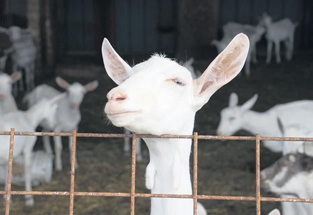 En 2019, les producteurs ont livré 7,3millions de litres de lait de chèvre aux acheteurs. Il en faudrait 10 pour que leur fédération soit viable. Photo : Myriam Laplante El Haïli/TCN