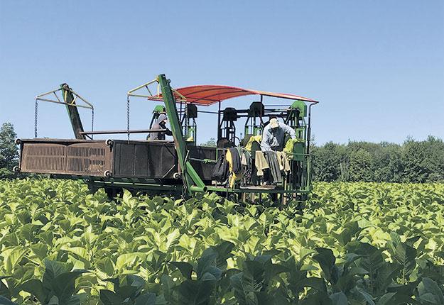 La récolteuse passe à cinq reprises dans le champ au fil des semaines de récolte afin de cueillir les feuilles de tabac à mesure qu'elles mûrissent. Photos : Geneviève Quessy