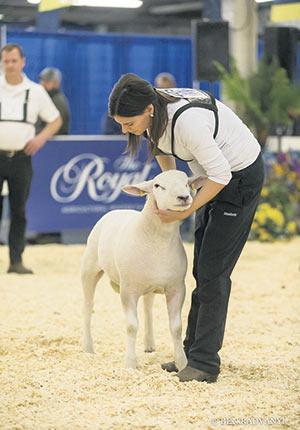 La Royal Agricultural Winter Fair présente aussi des jugements d'ovins. Photo : Royal Agricultural Winter Fair