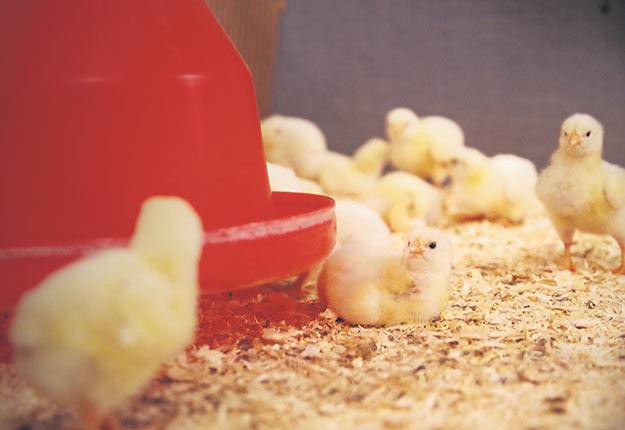 La coccidiose aviaire est causée par Eimeria, un parasite qui infecte l'intestin et y crée des lésions. Photos : Gracieuseté du CRSAD