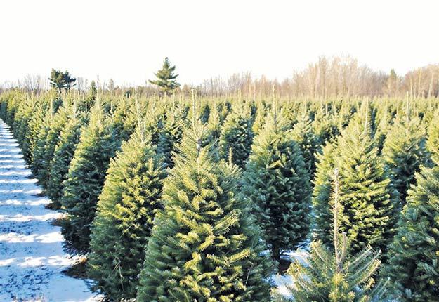 La demande accrue des États-Unis pour les sapins de Noël québécois exerce une pression sur le marché. Photo : Gracieuseté de Sapins Drummond