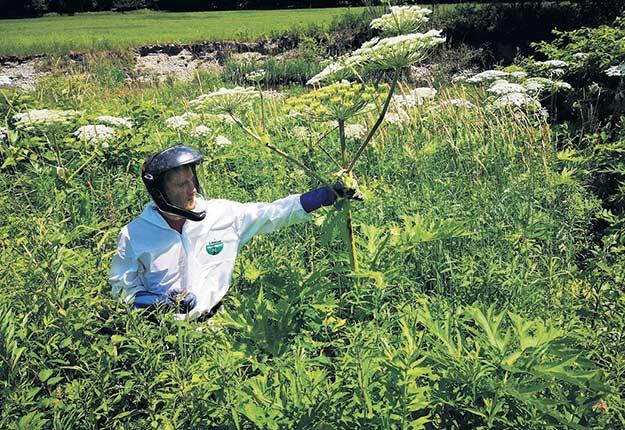 Malgré son allure élégante avec ses ombrelles blanches, cette plante exotique se révèle toxique et met à mal la biodiversité. Pour traiter la berce du Caucase et enrayer sa progression, les professionnels doivent porter des combinaisons intégrales. Ils arrachent les plants par la racine et doivent creuser au moins 20cm sous la terre afin d'en retirer toute trace. Photo : Quadra Environnement Inc.