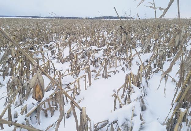 Le maïs couché au sol par le vent et maintenant recouvert de neige se révèle un véritable casse-tête pour plusieurs producteurs. Photo : Billy Beaudry