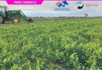 Les engrais verts sont une excellente source de carbone labile qui favorise le cyclage des nutriments du sol au bénéfice des cultures exigeantes comme le maïs-grain. Photo : IRDA