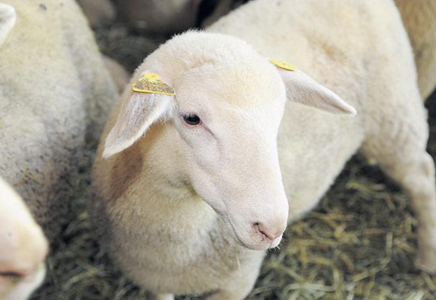 D'ici 10 ans, 50% de la production ovine sera consommée entre Noël et les Pâques juive, orthodoxes et catholiques. Photo : Archives/TCN
