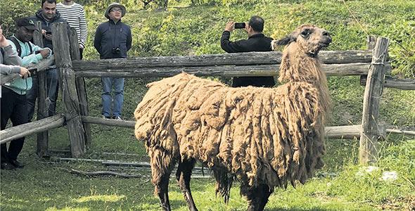 Finesse, le lama, sert de tondeuse dans les pentes escarpées de la houblonnière ainsi que d'attraction touristique.