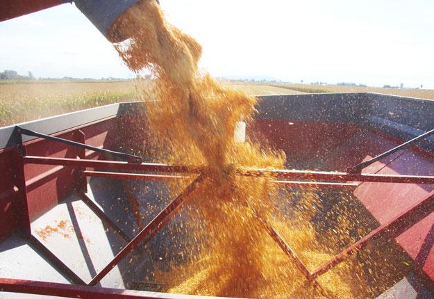Statistique Canada prévoit que la récolte de maïs 2019 sera la plus faible en cinq ans au Québec avec un rendement moyen de 8,9 t/ha, comparativement à 10,4 t/ha en 2016. Crédit photo : Martin Ménard/TCN