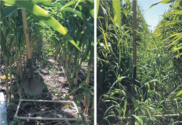Semer le maïs aux 60pouces (à droite) plutôt qu'aux 30pouces (à gauche) permet aux cultures intercalaires de profiter d'un meilleur accès au soleil. Photo : Gracieuseté de Valérie Bouthillier-Grenier