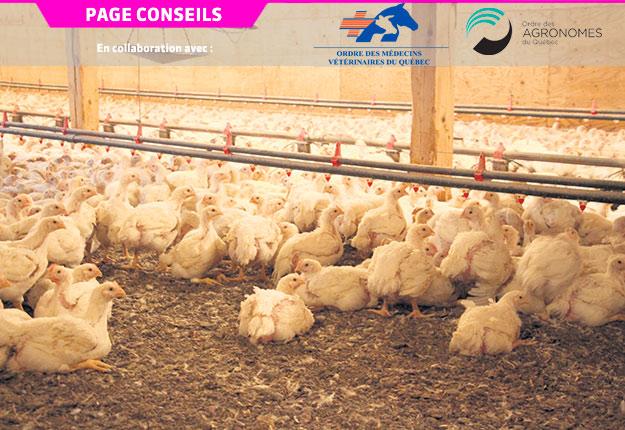 Des études sur la résistance aux antibiotiques ont été menées dans des fermes d'élevage de poulets de chair. Photo : Archives/TCN