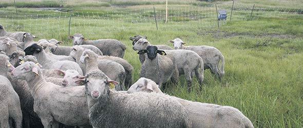 Des agneaux pâturant le pré-salé à l'Île Verte, au Bas-Saint-Laurent. Photo : Julie Mercier/TCN