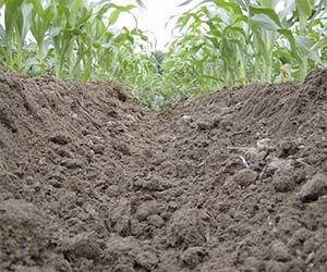 Billons fraîchement aménagés dans une culture de maïs. On vise une élévation d'environ 20 cm (8 po). Photo : Gracieuseté du Club Action Billon