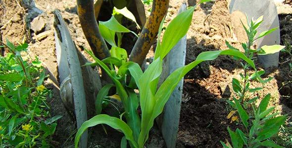 Photo 8 - Disques sarclant tout près du rang qui repoussent les mauvaises herbes et les résidus découpés vers l'entre-billon où ils finiront d'être détruits.