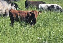 Chez 62,5 % des producteurs, 75 à 100 % des veaux étaient acères. Photo : Agricarrières