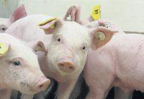 Des chercheurs canadiens se sont rendus au Vietnam pour tester leur nouveau test de dépistage portatif de la peste porcine africaine. Photo : Archives/TCN